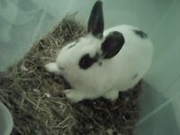 less than 1 year old rabbit for sale, pick up E15 3LS London