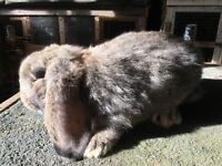 French lop kits for sale