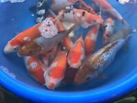 Koi carp for sale pond fish tank fish goldfish