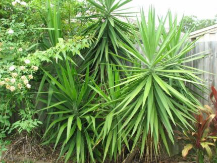 Yukka / Yucca trees - healthy and mature Carseldine Brisbane North East Preview