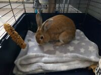Rex rabbit male Free to a good home
