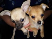 Beautiful chihauhua cross jack russell jack chows puppies for sale 3 boys 3 girls