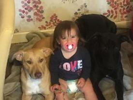 Staffordshire bull terrier x American bulldog puppies