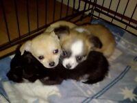 Chuahuaha Pups For Sale