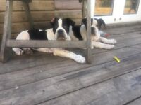 Bulldog Puppies- Sussex Bulldog Male Puppies