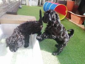 F1 Jackapoo puppies, 2 boys