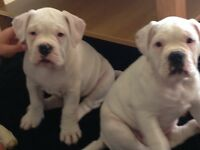 2white bulldog bitches 9 week old vaccinations papers breeder papers microchipped