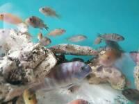 African cichlids.