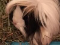 SAD SALE!!! Two female lovely guinea pigs and c&c cage