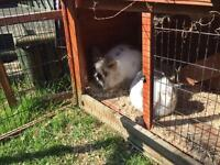 1 female Rabbit for sale