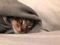 Beautiful tabby kitten for sale