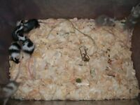 7 baby male fancy mice