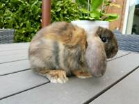 Mini lop baby bunnies available