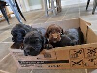 Sprocker puppies