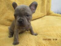 Beautiful French Bulldog Puppies. Ready 10th august
