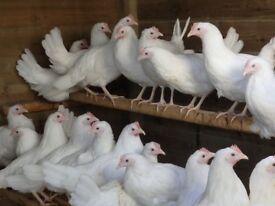 white leghorn chicken for sale