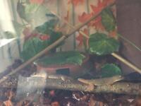 House geckos