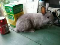 For sale netherland dwarf rabbit