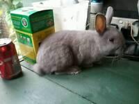 For sale netherland dwarf rabbit