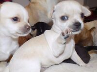 chihuahua puppies for sale in cornwall