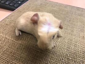Lovely baby Male guinea pigs