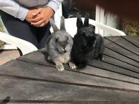 Very Friendly Netherland Dwarf Baby Bunnies