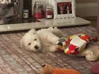 Beautiful Bichon frise puppy for sale