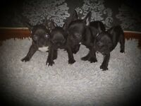 4 Beautiful Brindle Kc Reg French Bulldog Puppies