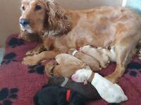 8 F1B cockapoo mixed litter of puppies