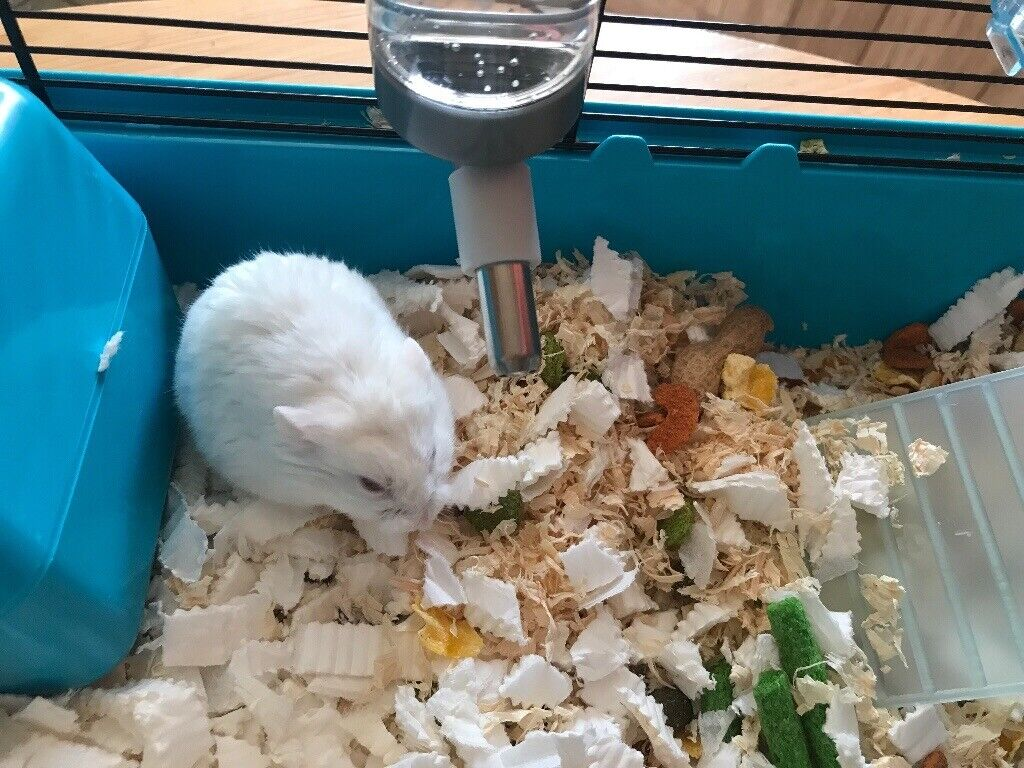Russian dwarf hamster with cage | in Ross-on-Wye, Herefordshire | Gumtree
