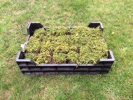 Garden Thyme Plants x 300 - Job Lot - 3 Varieties x 100 of each type - TOP QUALITY
