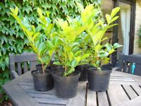 10 Laurel hedging plants approx 50 cms tall in 8 inch pots