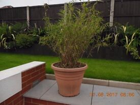 Large Pot of Bamboo Plant for Sale - Collection from DE22