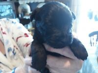 6 Scottish Terrier x Cairn Terrier ONLY 2 GIRLS REMAINING