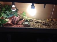 Male and female bearded dragon for sale