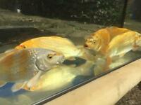 2 year old hand raised koi carp for sale