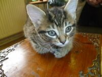 beautiful 8 weeks old tabby kitten for sale £30