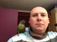 Conure Parrot for sale.