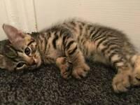 Kittens xbengal