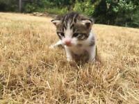 Kittens white & Blak