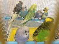 Mixed Colour Young Budgies