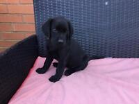 Black Labrador puppies ready for collection today pedigree and kennel Club