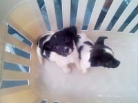 Jackrussel x king charles pups 9 weeks