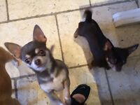 Two tiny short hair chihuahua for sale.