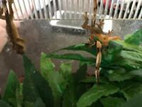 BABY CRESTED GECKOS WITH SET-UP, EVERYTHING YOU NEED!