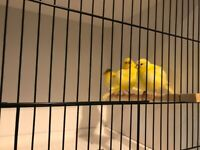 Fife canaries for sale