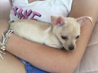 Beautiful chihuahua puppy Essex