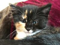 Beautiful BSH kittens brought up in a family home