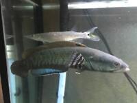 "7-8"" Channa Pulchra Peacock Snakehead Tropical Fish"
