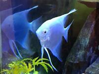 Platinum Angelfish for sale